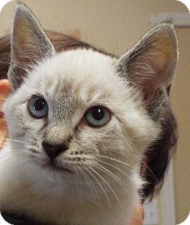 Siamese Kitten for adoption in Grants Pass, Oregon - Cash