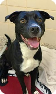 Labrador Retriever Mix Dog for adoption in Aiken, South Carolina - missy