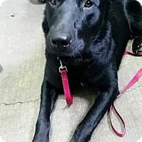 Labrador Retriever Mix Dog for adoption in Marion, Kentucky - Sam