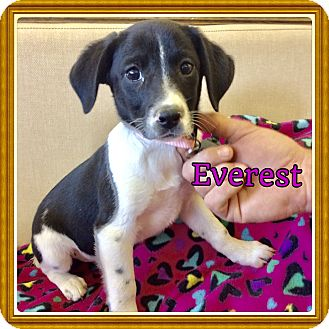 English Setter/Beagle Mix Puppy for adoption in Brattleboro, Vermont - Everest