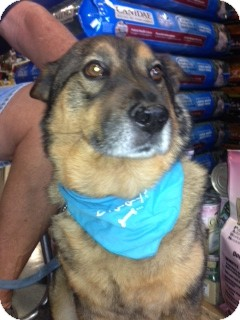 "Swedish Vallhund Mix Dog for adoption in Scottsdale, Arizona - Leo ""Im a VERY good boy"""