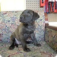Adopt A Pet :: Dazzle - Crawfordville, FL