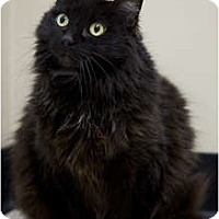 Adopt A Pet :: Shirley - Chicago, IL