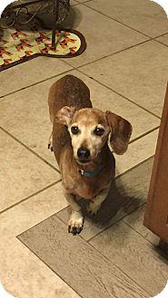 Dachshund Dog for adoption in Henderson, Nevada - Max