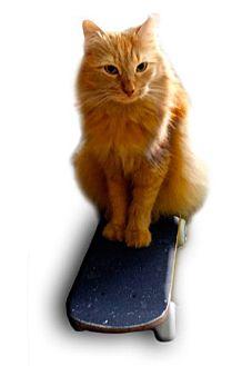Domestic Mediumhair Cat for adoption in Alexandria, Virginia - Icy