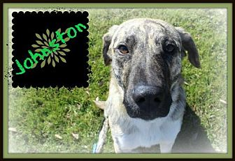 Catahoula Leopard Dog/Labrador Retriever Mix Dog for adoption in Missouri City, Texas - Johnston