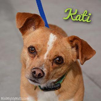 Chihuahua Mix Dog for adoption in Phoenix, Arizona - Kati