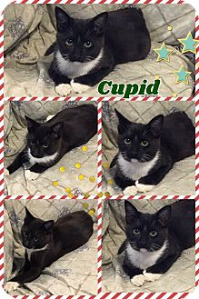 Domestic Mediumhair Kitten for adoption in Ravenna, Texas - Cupid