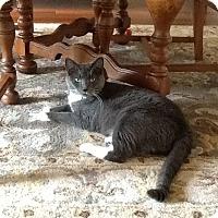 Domestic Shorthair Cat for adoption in Mebane, North Carolina - Emmy