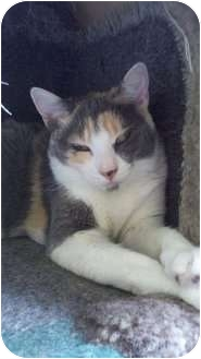 Domestic Shorthair Cat for adoption in Richboro, Pennsylvania - Sage