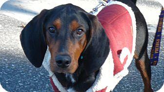 Coonhound Puppy for adoption in Grass Valley, California - Annibelle