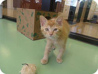 Domestic Shorthair Kitten for adoption in Gadsden, Alabama - Ziggy