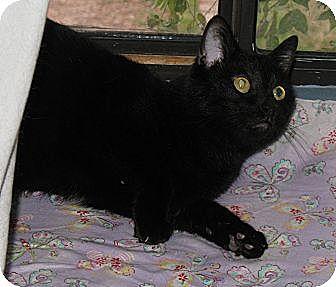 Domestic Shorthair Cat for adoption in Gilbert, Arizona - Hannah