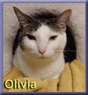 Domestic Shorthair Cat for adoption in Aldie, Virginia - Olivia
