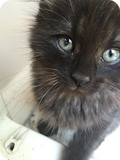 Domestic Mediumhair Kitten for adoption in Parkton, North Carolina - Pepper