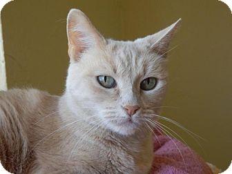 Domestic Shorthair Cat for adoption in Prescott, Arizona - Cristal