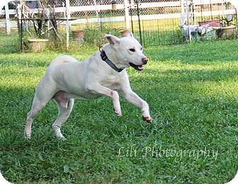 Labrador Retriever/Akita Mix Dog for adoption in Warner Robins, Georgia - Giant