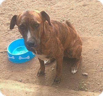 Australian Cattle Dog/American Pit Bull Terrier Mix Dog for adoption in Aqua Dulce, California - Rambo