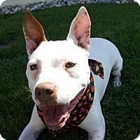 Pit Bull Terrier Mix Dog for adoption in Melvindale, Michigan - Jake