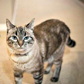 Siamese Cat for adoption in Edmonton, Alberta - Felicity Hunt
