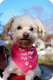 Maltese/Poodle (Miniature) Mix Dog for adoption in Fort Atkinson, Wisconsin - Maxine
