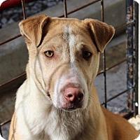 Adopt A Pet :: Sydney - Allentown, PA