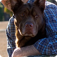 Adopt A Pet :: Godiva-Adoption Pending - Pinehurst, NC