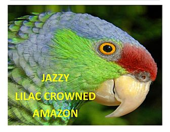 Amazon for adoption in Vancouver, Washington - Jazzy The Lilac Crowned Amazon