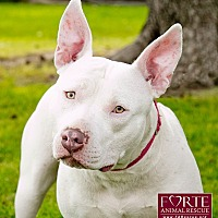 Bull Terrier/American Staffordshire Terrier Mix Dog for adoption in Marina del Rey, California - Luna