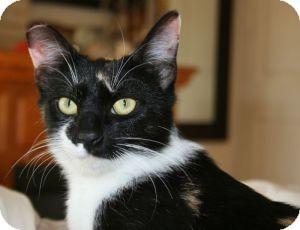 Calico Cat for adoption in Canoga Park, California - Sweet Pea