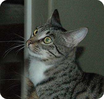 Bengal Cat for adoption in Chula Vista, California - Twilight