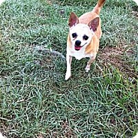 Chihuahua Dog for adoption in Baton Rouge, Louisiana - Tater
