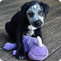 Adopt A Pet :: Cookies and Cream - Cumming, GA