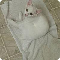 Adopt A Pet :: Ice Princess - Dallas, TX