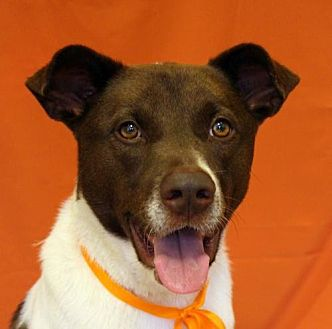Cattle Dog/Collie Mix Dog for adoption in San Francisco, California - Cowboy