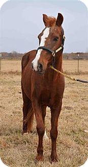 Quarterhorse Mix for adoption in LAFAYETTE, Louisiana - POSSUM
