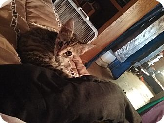 Domestic Shorthair Cat for adoption in Mount Perry, Ohio - Nala