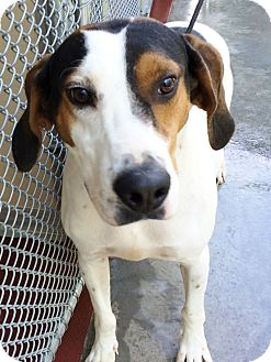 Hound (Unknown Type) Mix Dog for adoption in Hot Springs, Virginia - Jake