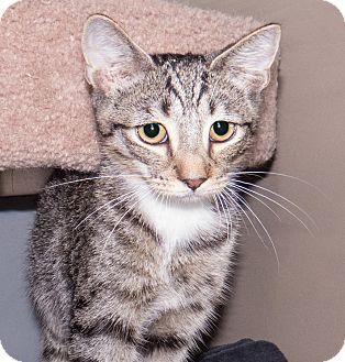 Domestic Shorthair Kitten for adoption in Elmwood Park, New Jersey - Alvin