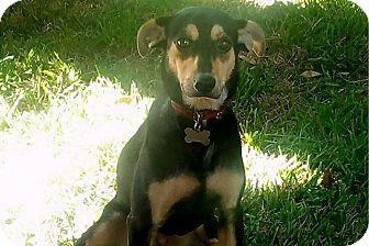 Shepherd (Unknown Type)/Whippet Mix Dog for adoption in Austin, Texas - Vera
