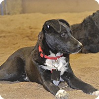 Adopt A Pet :: Lollie Pup - Union Grove, WI