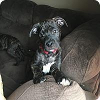 Adopt A Pet :: Puppy Red - Adoption Pending - Beachwood, OH