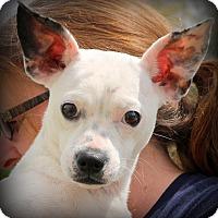 Adopt A Pet :: Snow ~ meet me! - Glastonbury, CT