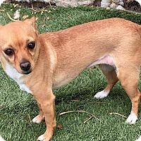 Adopt A Pet :: Candy - Las Vegas, NV
