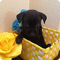 Adopt A Pet :: Oliver - Inglewood, CA
