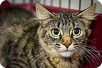Domestic Longhair Cat for adoption in Bulverde, Texas - Flo