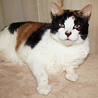 Calico Cat for adoption in Jackson, Mississippi - Pretty Baby