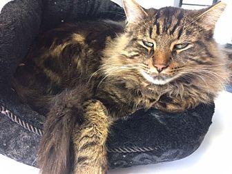 Domestic Longhair Cat for adoption in Elliot Lake, Ontario - mufasa