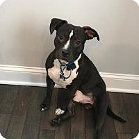 Staffordshire Bull Terrier Dog for adoption in alexandria, Virginia - Pongo