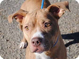 Pit Bull Terrier Mix Dog for adoption in Anniston, Alabama - Rikki